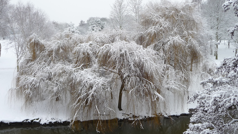 Snowy Willow on Anker